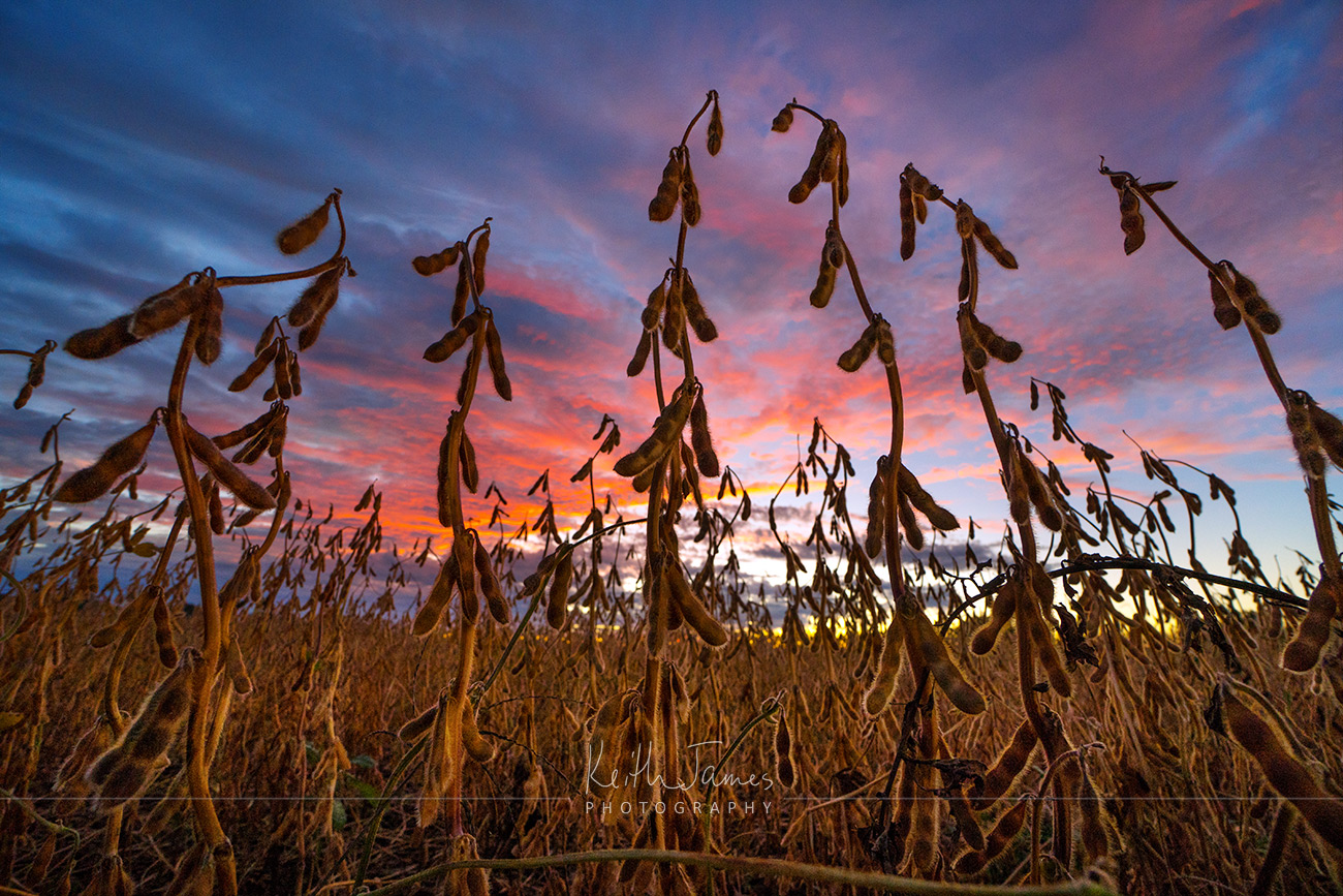 Landscape Photography: Soybeans at Sunset