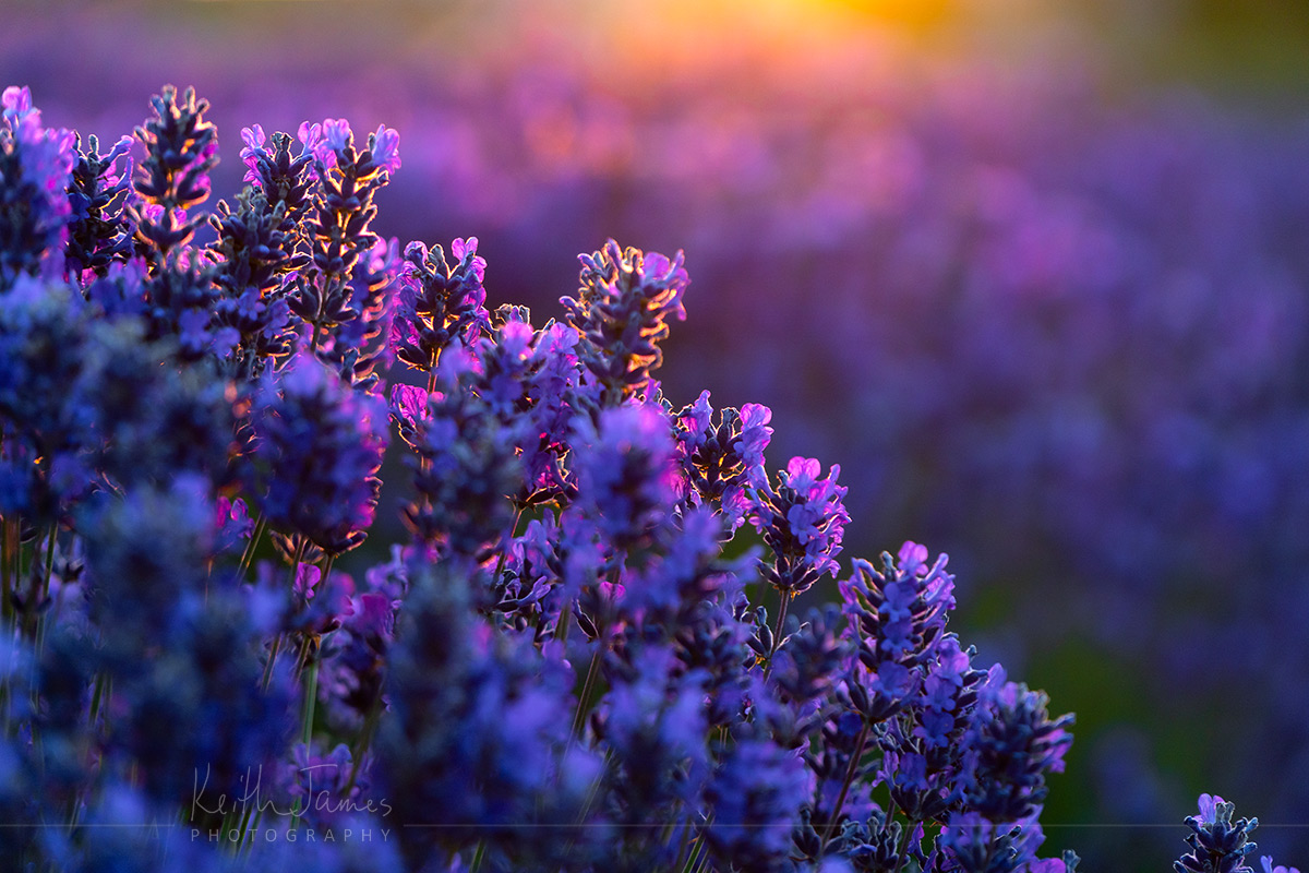Lavender at sunset.