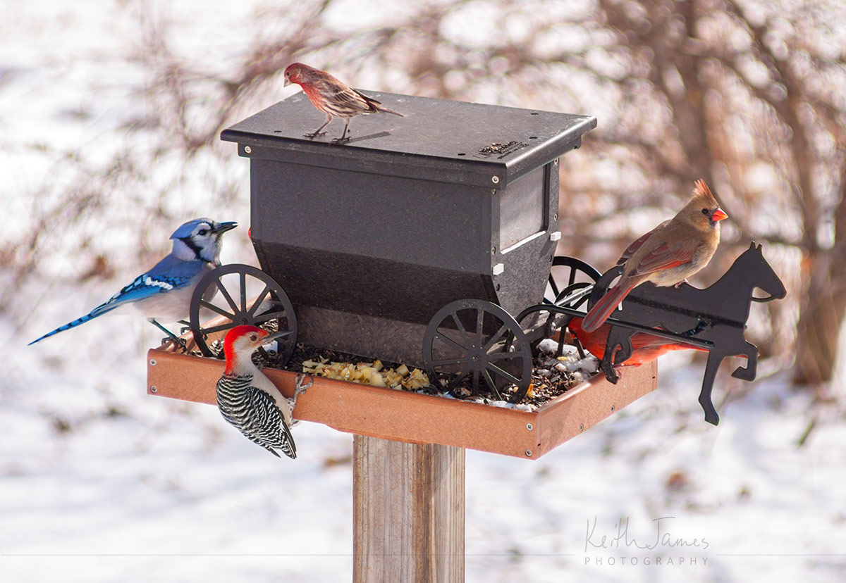 Multiple exposure: A woodpecker, blue jay, cardinals, and a sparrow all gather on a bird feeder shaped like an Amish buggy.